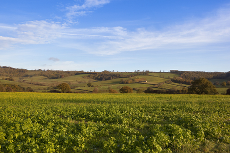 wispy: a yellow flowering mustard crop used for green manure in a yorkshire wolds landscape with scenic hills under a blue sky with wispy clouds in autumn