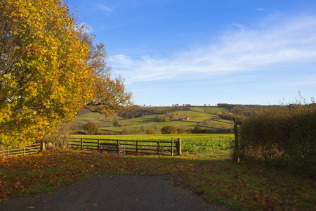 golden autumn leaves on a maple tree beside a wooden bench and sign post on a public footpath in a yorkshire wolds landscape under a blue cloudy sky