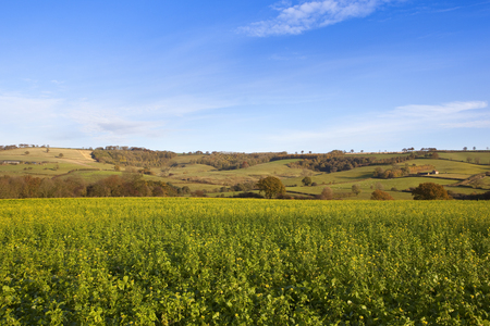 a yellow flowering mustard crop used as green manure in a yorkshire wolds landscape with autumn woods and a scenic backdrop under a blue cloudy sky