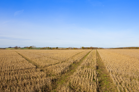 a golden straw stubble field with criss cross lines and colorful trees in a yorkshire wolds landscape under a blue cloudy sky in autumn