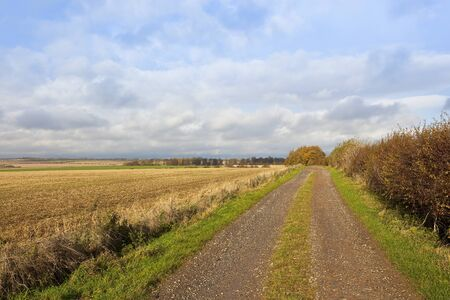 a stony farm track with an autumnal larch copse in a yorkshire wolds landscape under a blue cloudy sky