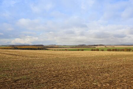 hedgerows: a yorkshire wolds autumn harvest landscape with larch woodland and hills and hedgerows under a blue cloudy sky with a straw stubble field in the foreground