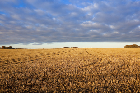 a field of golden straw stubble on a hillside under a blue patterned sky in a yorkshire wolds landscape in autumn
