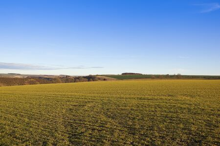 hedgerows: a young wheat crop in a yorkshire wolds landscape with valley hills and hedgerows under a blue sky in autumn