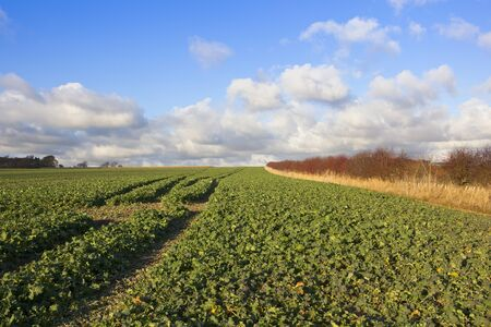 fodder: leafy fodder crops beside a hawthorn hedgerow with red berries in a yorkshire wolds landscape under a blue cloudy sky in autumn Stock Photo