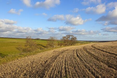 a yorkshire wolds agricultural vista with straw stubble hills and hedgerows under a blue cloudy sky in autumn