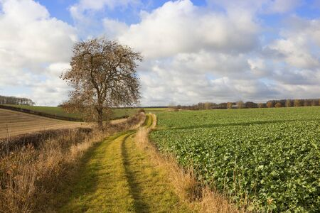 hedgerows: a scenic country footpath with an ash tree and fodder crops hills and hedgerows in a yorkshire wolds landscape under a blue cloudy sky in autumn