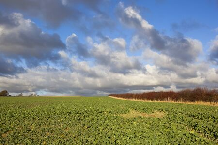 fodder: green leafy fodder crops beside a red hawthorn hedgerow in a yorkshire wolds landscape under a blue cloudy sky in autumn Stock Photo