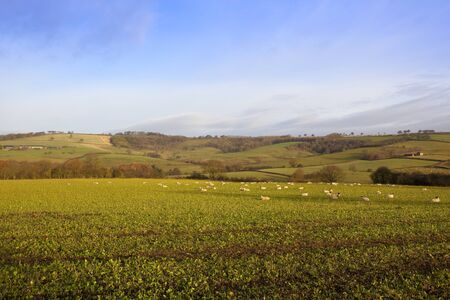 grazing sheep on fodder crops with hillside scenery in a yorkshire wolds landscape under a blue cloudy sky in autumn Stock Photo