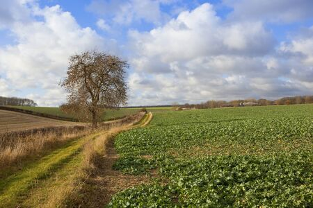 a scenic bridleway with an ash tree beside hedgerows and crops in a yorkshire wolds landscape under a blue sky with fluffy white clouds in autumn
