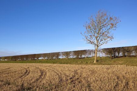 a young ash tree with a hawthorn hedgerow near a straw stubble field under a clear blue sky in the yorkshire wolds in autumn