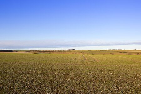hedgerows: a newly sown wheat crop with hills hedgerows and woods in a yorkshire wolds landscape under a blue sky with white clouds in autumn Stock Photo