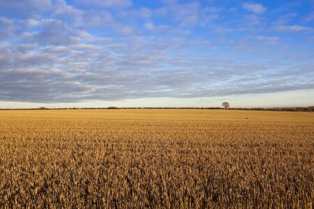 cloud patterns and blue sky over golden straw stubble with a hedgerow in a yorkshire wolds landscape in autumn