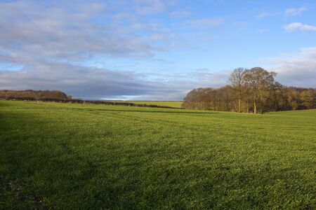 green winter wheat with woodland with hedgerows in a yorkshire wolds landscape under a blue sky with soft clouds Stock Photo