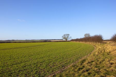 a curving wheat field in an english agricultural landscape with hedgerows hills and trees under a clear blue sky in winter