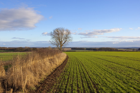 an english landscape with a view of the vale of york from a newly sown wheat field with an ash tree and hedgerow under a blue cloudy sky in winter Stock Photo