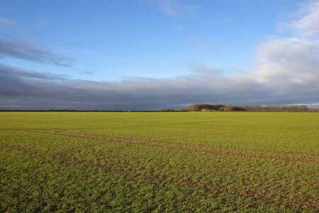winter wheat: an english landscape with a green winter wheat field and a farm with trees and hedgerows in the yorkshire wolds under a cloudy blue sky Stock Photo
