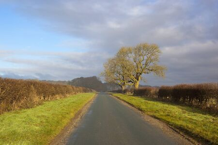 hedgerows: winter oak trees beside a country highway in a yorkshire wolds landscape with hawthorn hedgerows under a blue sky with soft cloud