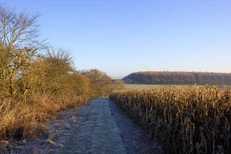 a frosty footpath near hedgerows and dry maize plants used for pheasant cover in a yorkshire wolds landscape under a clear blue sky in winter Stock Photo