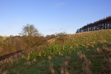 a grassy valley with mixed woodland in a yorkshire wolds landscape with larch trees on a country walk under a blue sky in winter