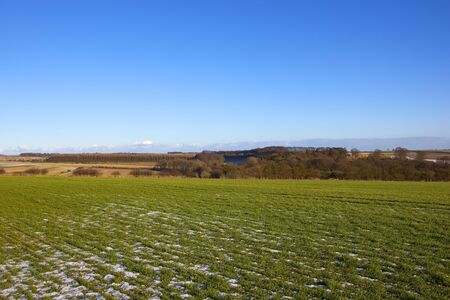 larch woodland with a young wheat crop and fallen snow in a yorkshire wolds landscape under a blue sky in winter