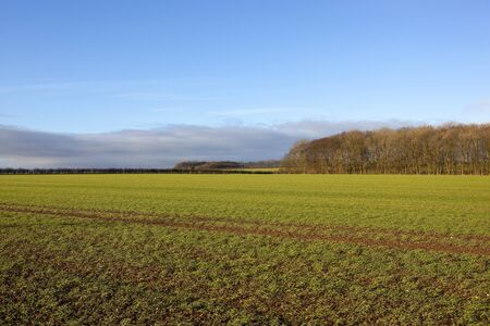 a young green wheat field with winter woodland hedgerows and tyre tracks in a yorkshire wolds landscape under a blue sky with cloud
