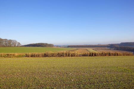 an agricultural shooting and hunting yorkshire wolds landscape with woods and hedgerows straw stubble and  pheasant cover under a clear blue sky in winter Stock Photo