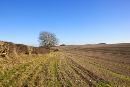 a scenic straw stubble field with a hawthorn hedgerow and ash tree in a yorkshire wolds landscape under a clear blue sky in winter Stock Photo