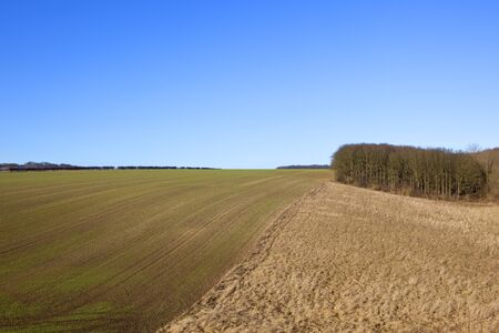 a hillside wheat field beside a woodland copse and dry grasses with hedgerows in a yorkshire wolds landscape under a clear blue sky in winter