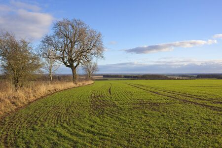 curving lines and patterns in a young green wheat crop with trees and dry grasses overlooking the vale of york under a blue cloudy sky in winter Stock Photo