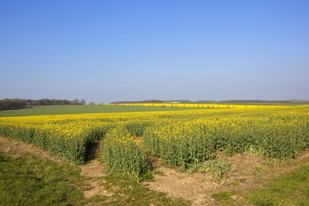 bright yellow flowered oilseed rape crops in the rolling hills of the yorkshire wolds with woodland under a clear blue sky in springtime