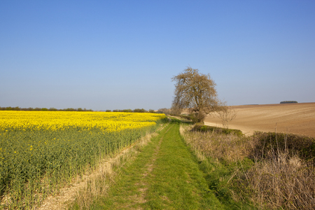 a yellow flowering oilseed rape crop beside a grassy bridleway and an ash tree with hillside plowed fields under a clear blue sky in springtime