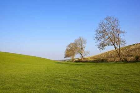 a hillside green grazing pasture with ash trees and a young plantation in the yorkshire wolds under a clear blue sky in springtime