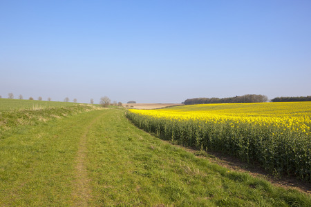 a grassy bridleway with a yellow flowering oilseed rape crop and woodland under a clear blue sky in springtime Stock Photo