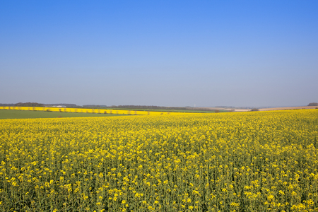 extensive bright yellow flowered oilseed rape crops in the rolling hills of the yorkshire wolds with a view of the vale of york under a clear blue sky in springtime