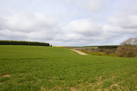 undulating wheat fields near woodland in the yorkshire wolds under a blue cloudy sky in springtime Stock Photo