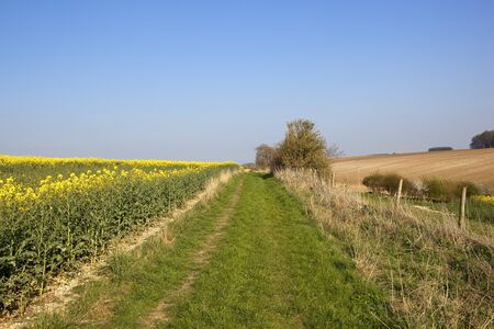 canola: a scenic bridleway beside bright yellow flowers of an oilseed rape crop with trees and hedgerows under a blue sky in springtime