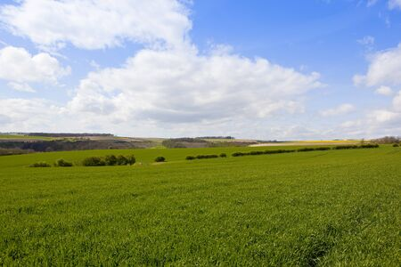 green wheat fields and hedgerows in the scenic agricultural landscape of the yorkshire wolds under a blue cloudy sky in springtime Stock Photo