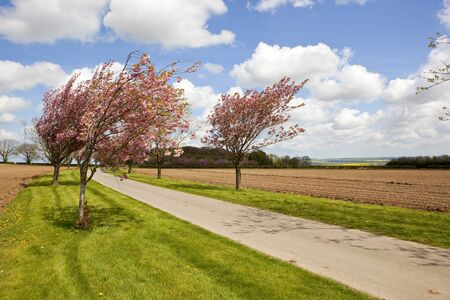 a small country road with an avenue of cherry trees in blossom with agricultural scenery in the yorkshire wolds under a blue cloudy sky in springtime