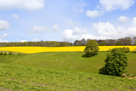 an oilseed rape crop in full flower near woodland with a green valley grazing pasture under a blue cloudy sky in springtime