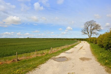 a limestone farm track with a wheat crop ash tree and hawtorn hedgerow in the yorkshire wolds under a blue cloudy sky in springtime Stock Photo