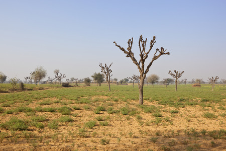 an arid rajasthan landscape with pollarded trees and chick pea crop on sandy soil under a clear blue sky in springtime