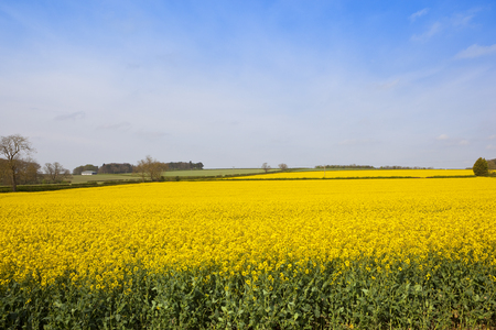 an oilseed rape crop in full flower amongst fields woodland and hedgerows under a blue sky in springtime Stock Photo
