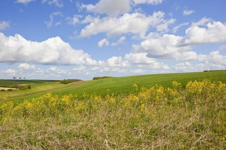 yellow wildflowers beside a hillside wheat crop and valley in the yorkshire wolds under a blue cloudy sky in springtime Stock Photo