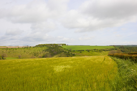 scenic springtime hills with barley crop and a hawthorn hedgerow in the yorkshire wolds under a blue cloudy sky