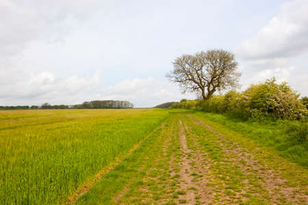 a farm track and bridleway with an ash tree and barley crop in the yorkshire wolds under a cloudy sky in springtime Stock Photo