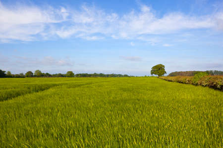 a lush green springtime barley crop amongst hawthorn hedgerows in flower and woodland in yorkshire under a blue cloudy sky