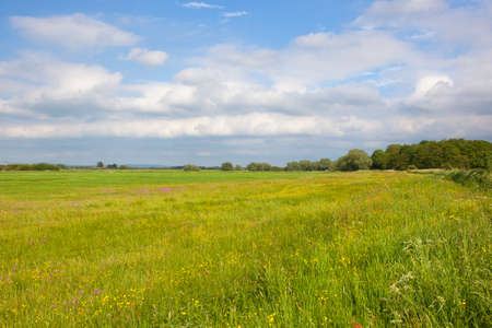 a summer wildflower meadow with buttercups and ragged robin in an agricultural landscape under a blue cloudy sky in yorkshire