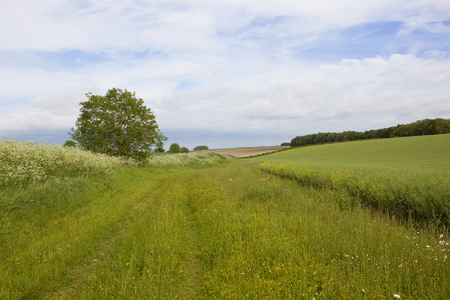 canola: a grassy bridleway with wildflowers and ripening oilseed rape crop in the yorkshire wolds in summer under a cloudy blue sky Stock Photo