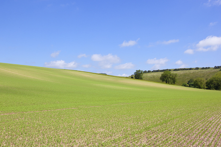 a hillside pea crop on chalky soil with trees and hedgerows in the yorkshire wolds under a blue sky in summer Stock Photo